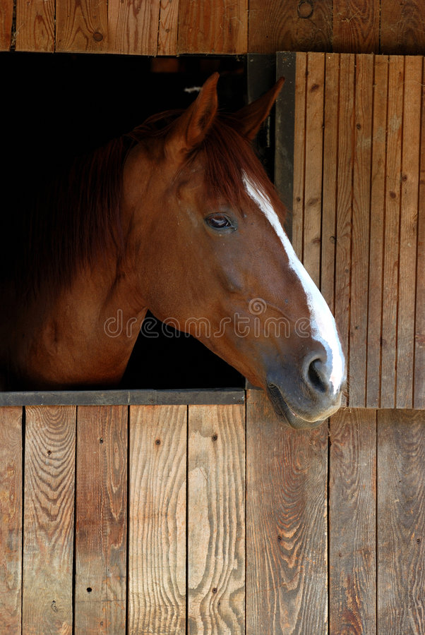Brown horse portrait stock photography