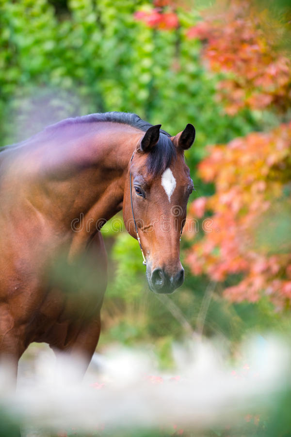 Brown horse portrait on colorful nature background. Autumn time royalty free stock photo