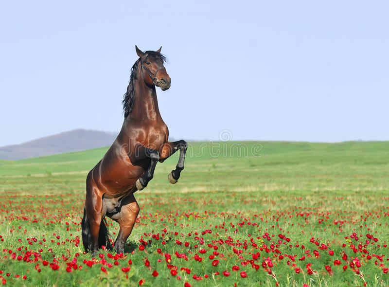 Download Brown Horse Rearing On Pasture Stock Photo - Image: 15629834
