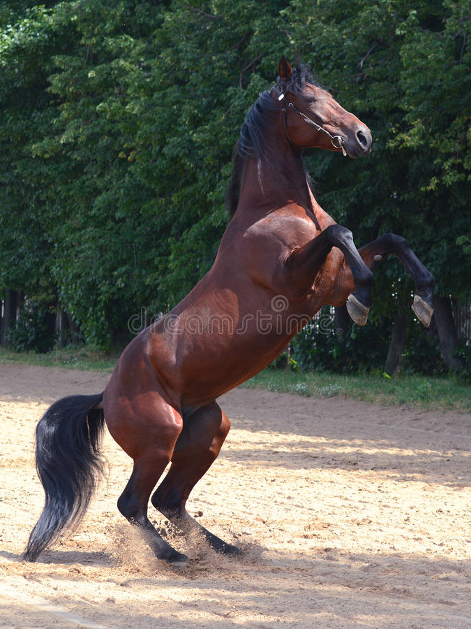 The Brown horse rears royalty free stock image