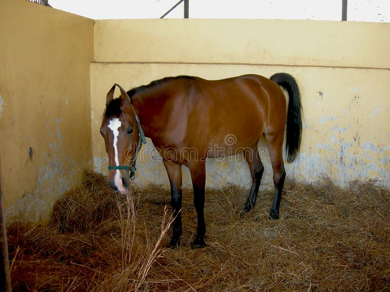 A Brown Horse resting in Stable stock images