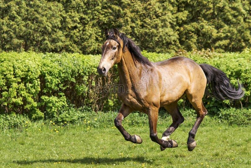 Brown horse run stock photos
