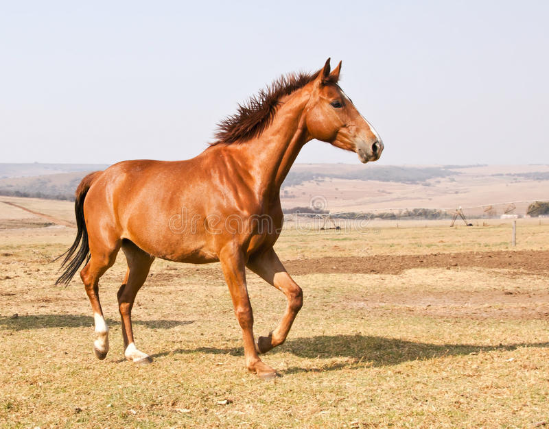 Brown horse running on dry grass. And blue sky on farm royalty free stock images