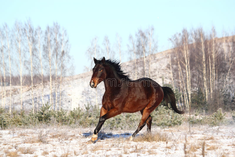 Brown horse running free in winter. Brown horse galloping free in winter stock images