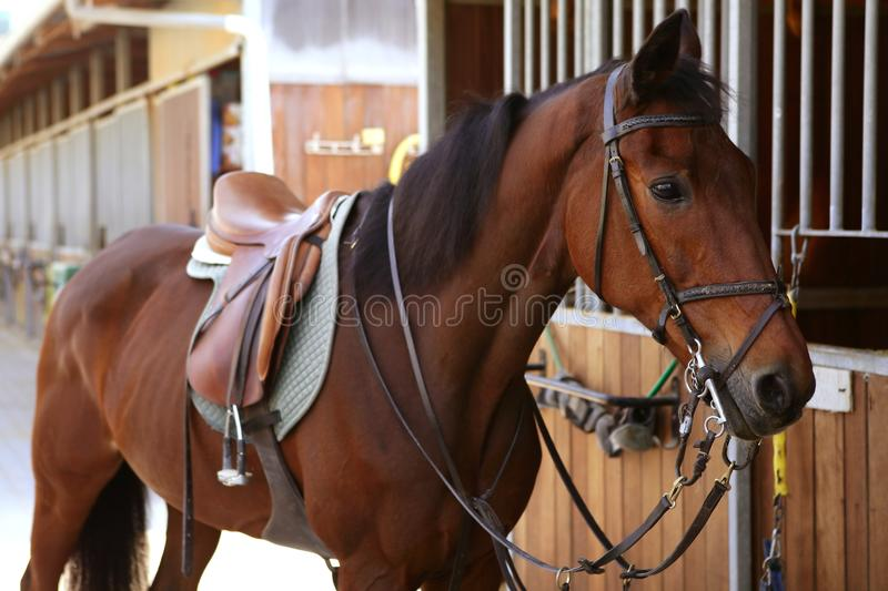 Brown horse with saddle and reins stock images