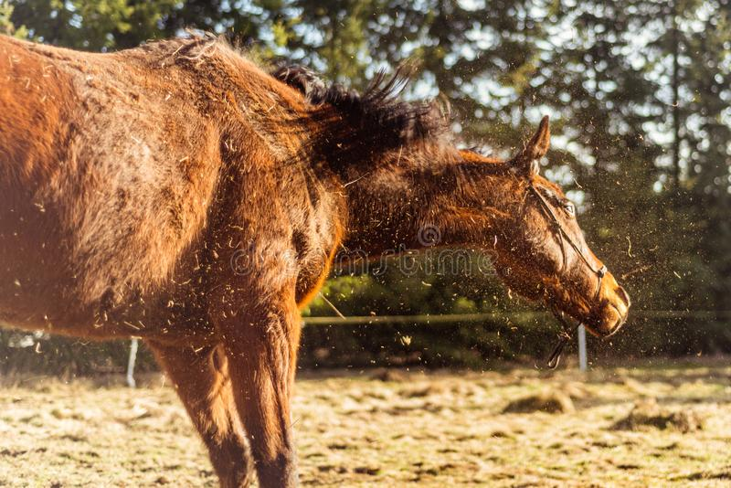 Brown horse shake off the dust in the sunny day stock photos