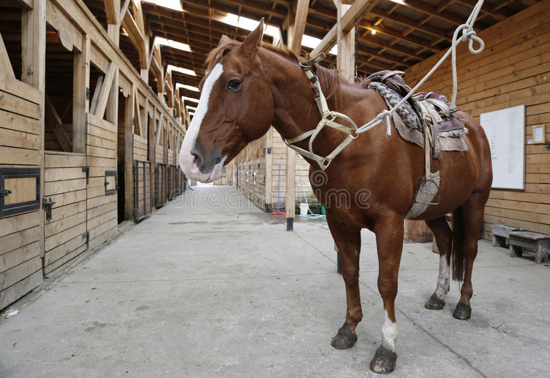 Brown horse in stable rigged with saddle and reins stock images