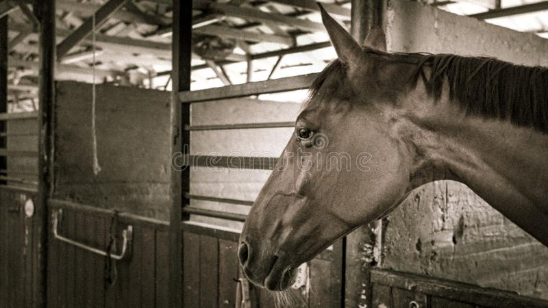 A brown horse in a stall in a stable royalty free stock image