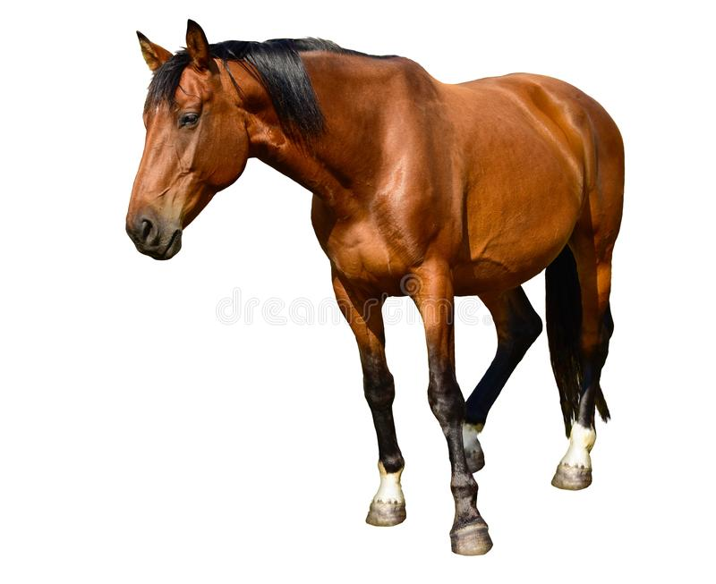 Brown horse standing isolated on the white background. A closeup portrait of the face of a horse stock photography