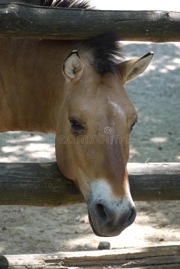 The brown horse stuck his head through the wooden fence. zoo, nature reserve, place of family rest with children stock images