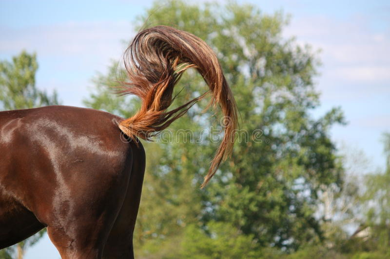 Brown horse swinging its tail stock photography
