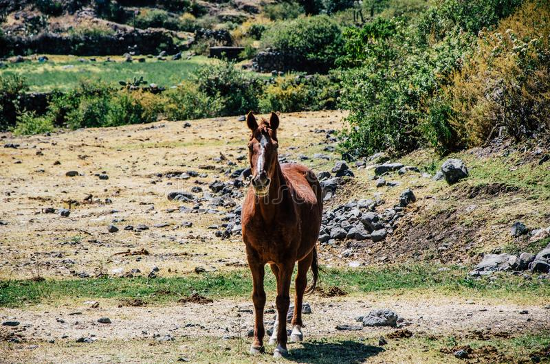 Brown horse among the thickets stock photography