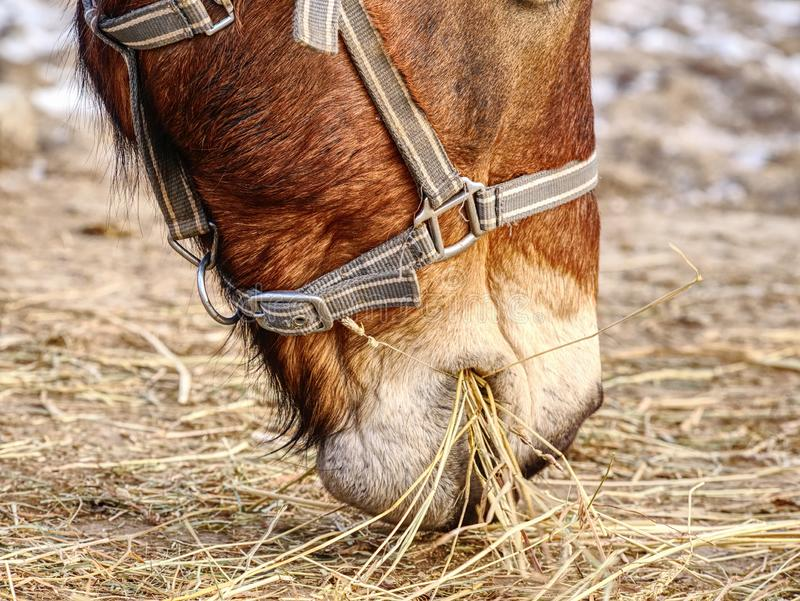 Brown horse to feed on pasture near farm. Brown horse to feed on a pasture near a mountain farm winter warm fur village tree tired stud strap steed stallion stock photo