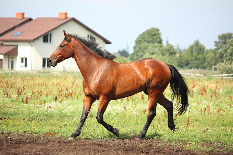 Brown horse trotting at the field. In summer royalty free stock photo