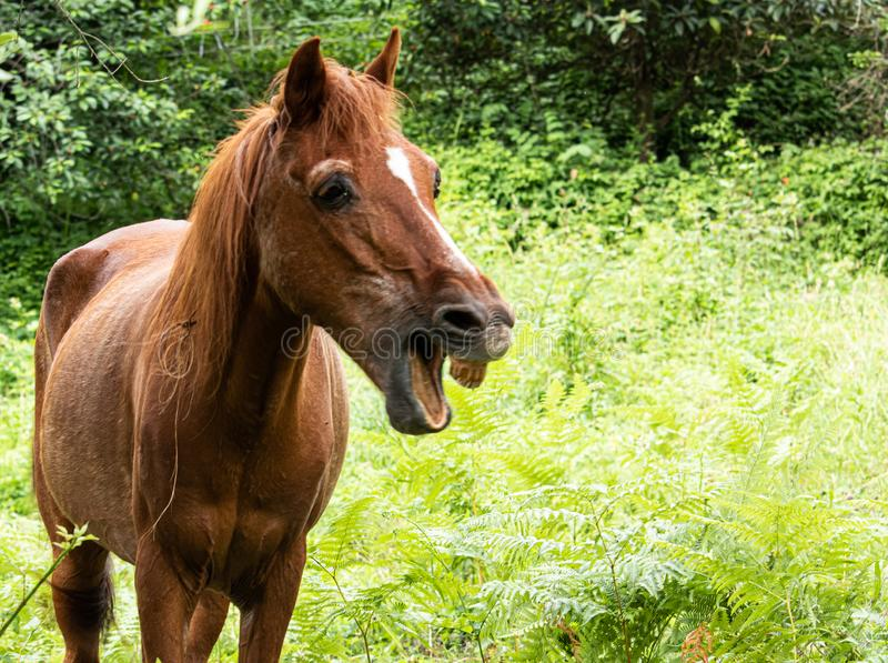 A brown horse with vegetation in the backgroun whinnying. With open mouth stock photography