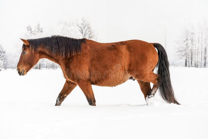 Brown horse wading through snow in winter, blurred trees in background, side view.  royalty free stock photo