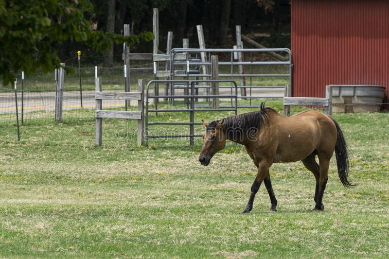 Brown horse walking across ranch pasture. Beautiful, light brown horse walking across a green, grassy pasture on a ranch with a metal gate and some fences in the royalty free stock image