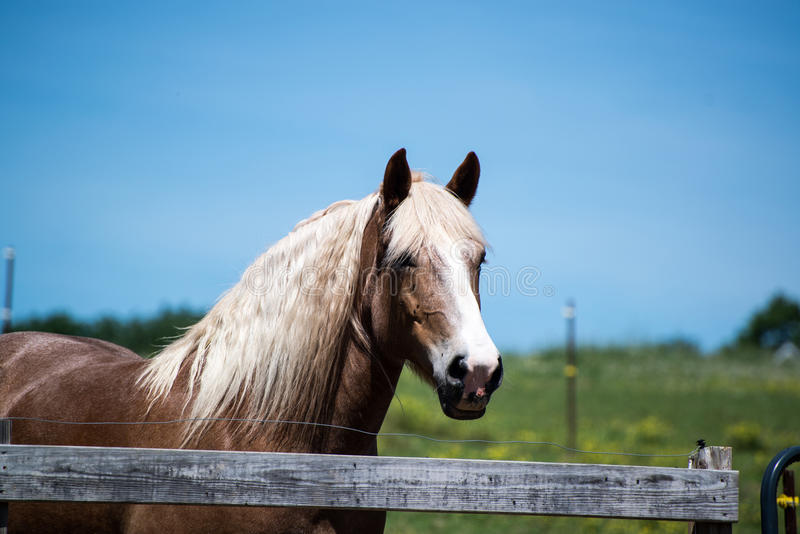 Brown horse white mane at ranch. A brown horse with white mane at a ranch royalty free stock photography