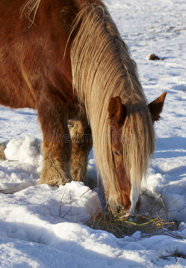 Download Brown horse in wintertime stock image. Image of animal - 17403107
