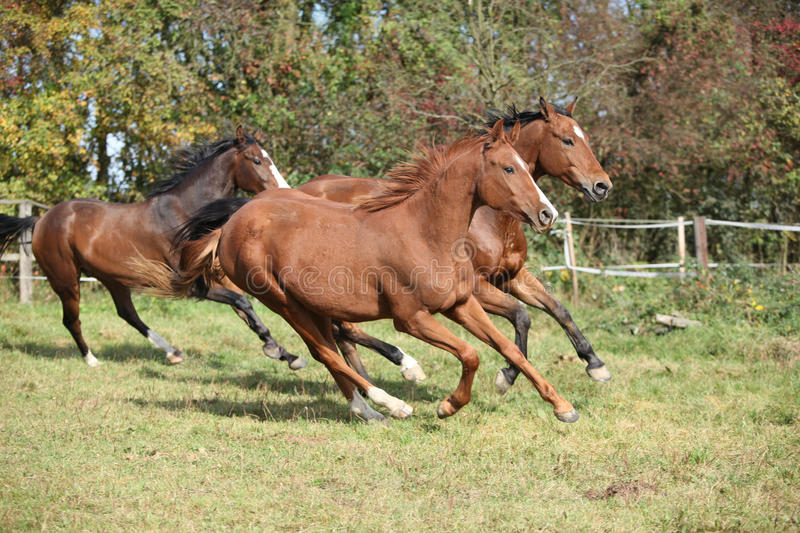 Brown horses running on pasturage. In autumn stock photos