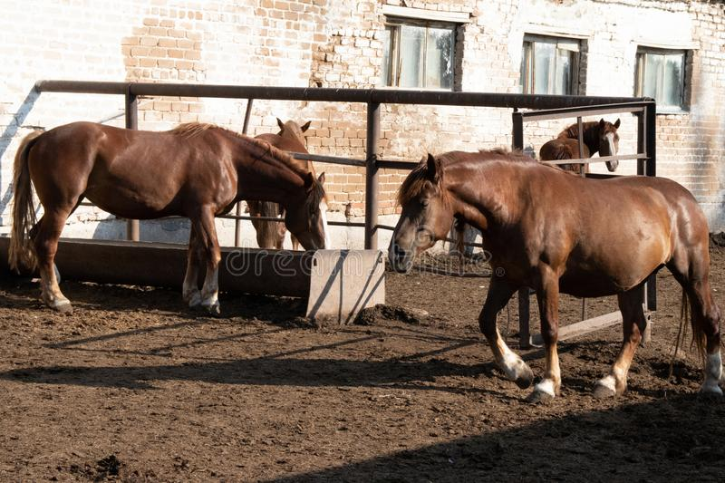 Brown horses walk on the farm  in the shade royalty free stock photography
