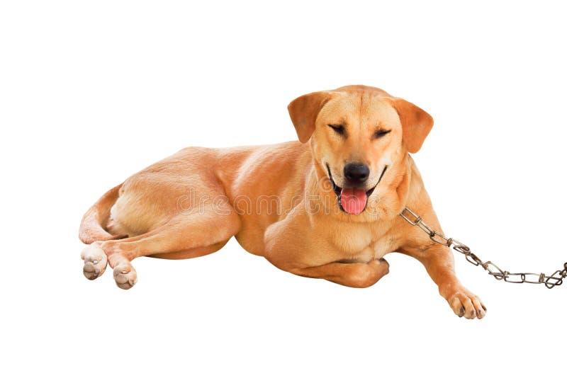 Brown-Hund mit der Kette lokalisiert auf weißem Hintergrund, glücklichem Gesicht mit dem liegenden tounge und Beschneidungspfad lizenzfreie stockfotografie
