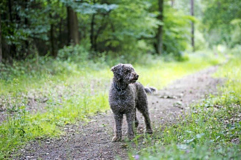 Brown-Hunde-Porträt in der Wald-lagatto romagnolo Hintergrundhohen qualität lizenzfreie stockfotos