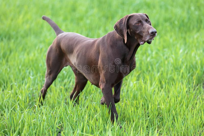 The brown hunting dog freezed in the pose smelling the wildfowl in the green grass. German Shorthaired Pointer. A spring warm day royalty free stock image