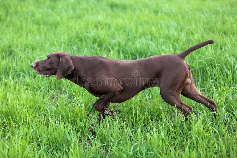 The brown hunting dog freezed in the pose smelling the wildfowl in the green grass. German Shorthaired Pointer. A spring warm day royalty free stock photo