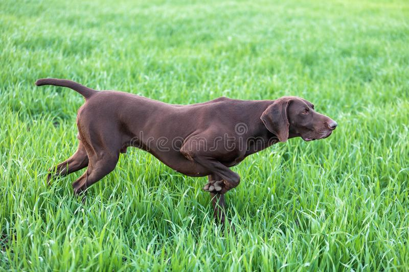 The brown hunting dog freezed in the pose smelling the wildfowl in the green grass. German Shorthaired Pointer. A spring warm day royalty free stock photography