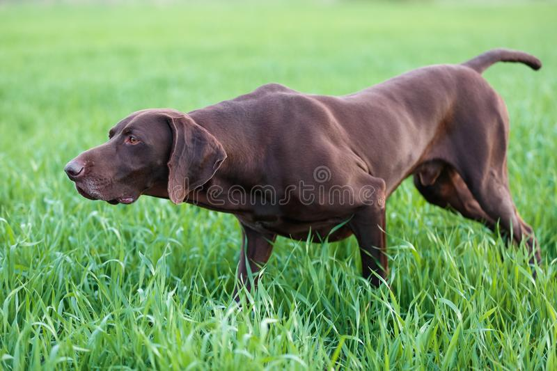 The brown hunting dog freezed in the pose smelling the wildfowl in the green grass. German Shorthaired Pointer. A spring warm day stock photos