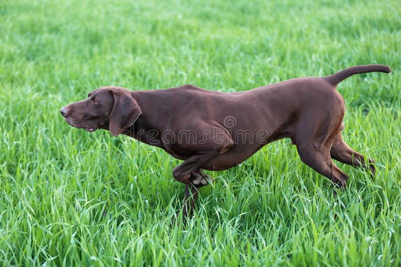 The brown hunting dog freezed in the pose smelling the wildfowl in the green grass. German Shorthaired Pointer. Spring scenery royalty free stock image
