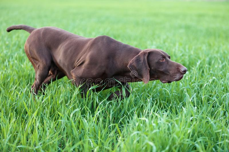 The brown hunting dog freezed in the pose smelling the wildfowl in the green grass. German Shorthaired Pointer. Spring scenery royalty free stock photography
