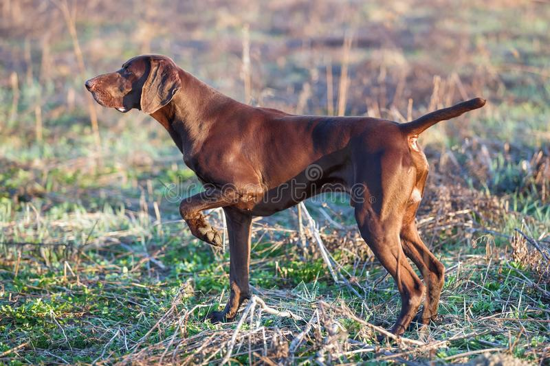 The brown hunting dog freezed in the pose smelling the wildfowl in the green grass. German Shorthaired Pointer. A hunting scene stock photography