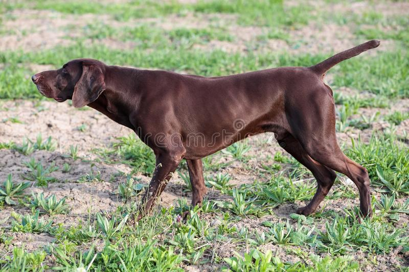 The brown hunting dog freezed in the pose smelling the wildfowl in the green grass. German Shorthaired Pointer. A hunting scene stock image