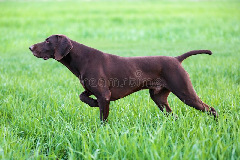 The brown hunting dog freezed in the pose smelling the wildfowl in the green grass. German Shorthaired Pointer. Spring scenery stock photos