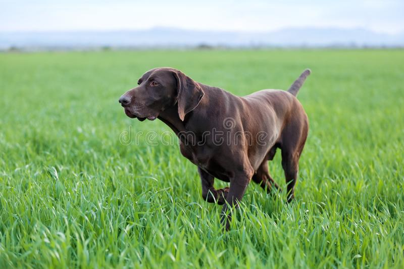 The brown hunting dog freezed in the pose smelling the wildfowl in the green grass. German Shorthaired Pointer. Spring scenery royalty free stock photo