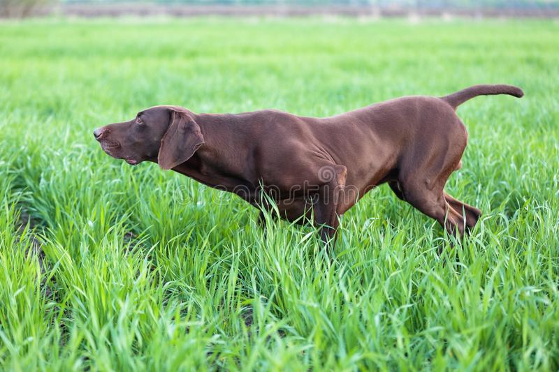 The brown hunting dog freezed in the pose smelling the wildfowl in the green grass. German Shorthaired Pointer. A spring warm day stock images