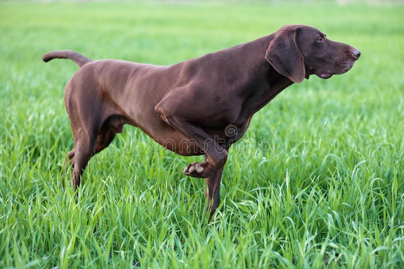 The brown hunting dog freezed in the pose smelling the wildfowl in the green grass. German Shorthaired Pointer. A spring warm day royalty free stock photos