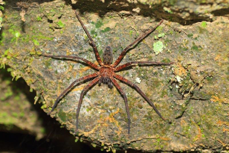 Download Brown huntsman spider stock image. Image of forest, tropical - 39506999