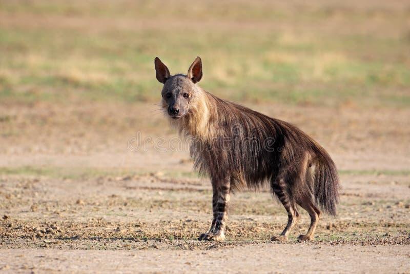 Download Brown hyena stock photo. Image of predator, carnivore - 18646270