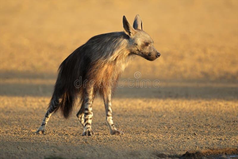Download Brown Hyena Royalty Free Stock Photos - Image: 22006688