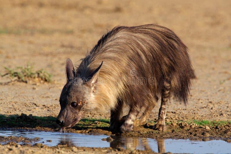 Brown Hyena Royalty Free Stock Photos
