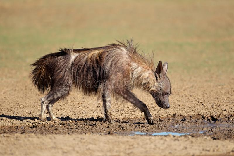 Download Brown hyena drinking water stock image. Image of kgalagadi - 107160175