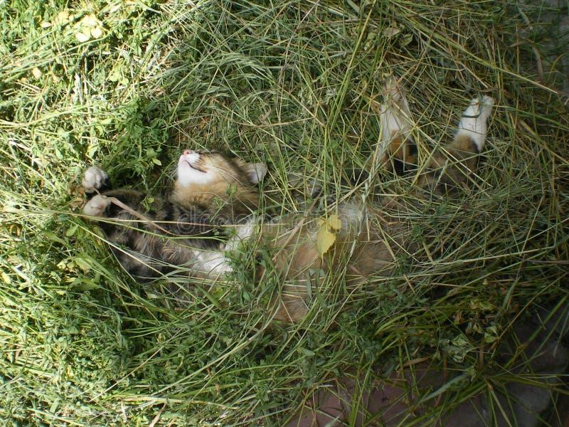 Brown i biały kot śpimy w zielonym sianie obraz stock