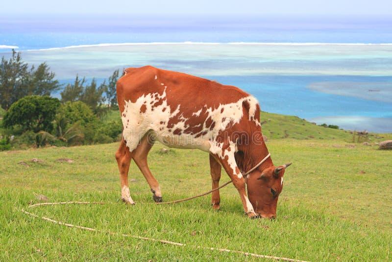 Brown i biała cielicy łasowania trawa obraz stock