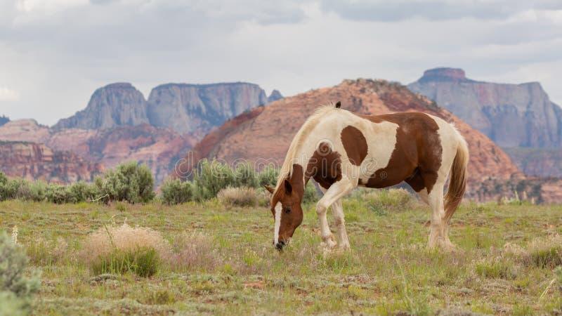 Brown i biały łaciaty koński pasanie w pustynnym polu fotografia stock