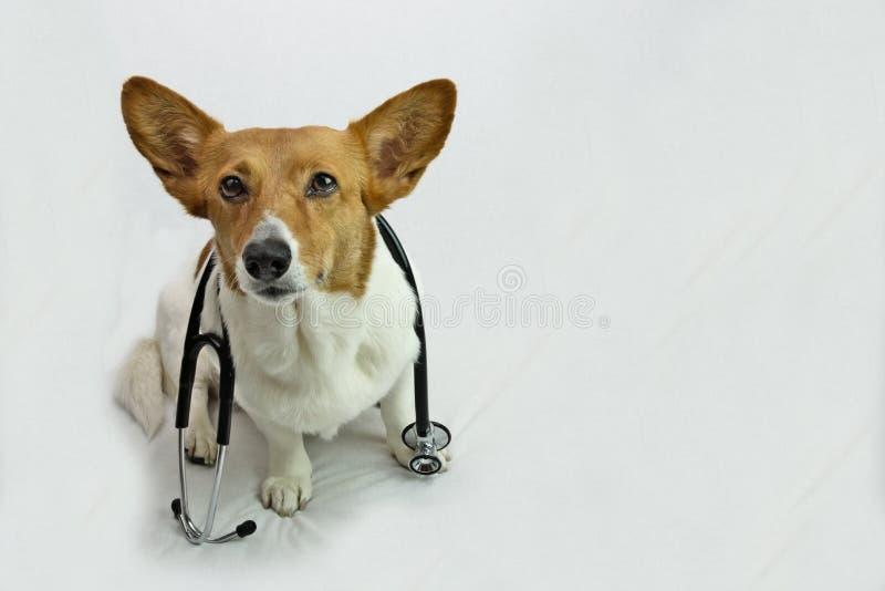 Brown i Biały Corgi z Czarnym stetoskopem zdjęcie stock