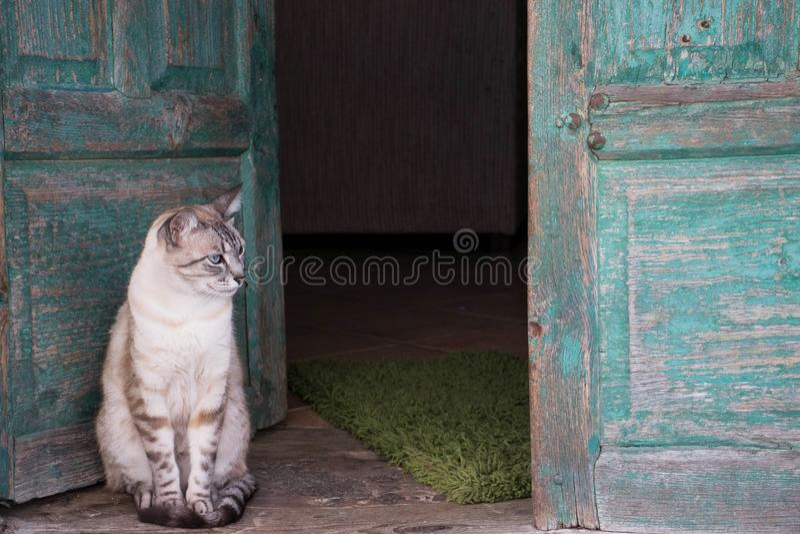 Brown i biały kot przed starymi zielonymi drewnianymi drzwiami otwarty fotografia stock