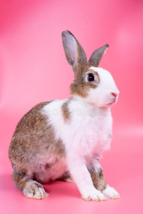 Brown i biały królika królik z długimi ucho stojakami przed różowym tłem zdjęcia royalty free